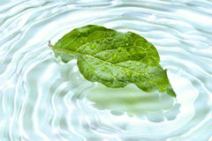 Leaf with water reflection. Green leaf with water reflection Stock Photos