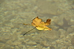 The leaf on the water (foglia sull'acqua). It is a yellow leaf laying on the clear water of lake of Fusine in norther Italy in autumn Stock Photos