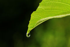 Leaf and waterdrop. Royalty Free Stock Photo