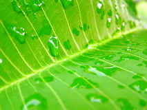 Leaf and waterdrops. Macro shoot - can see the texture details. Focus on the waterdrop, center of the image. Shallow depth of field stock image