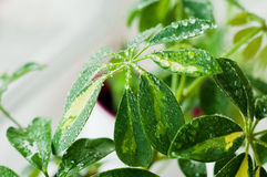 Leaf with waterdrops. A close up picture of a schefflera leaf with waterdrops on it stock image