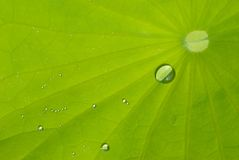 Leaf of waterlily with dew Royalty Free Stock Images