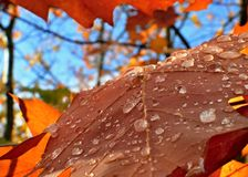 Leaf and wather drops. Autumn, leaf with wather drops Royalty Free Stock Photos
