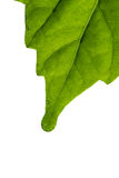 Leaf on white. Bright green leaf on white close-up Royalty Free Stock Image