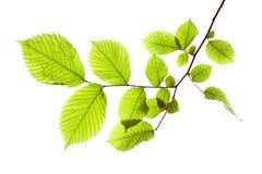 Leaf on white Royalty Free Stock Photos