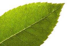 Leaf on white Stock Photos