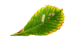 Leaf on white Royalty Free Stock Image