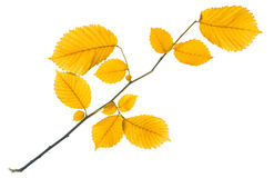 Leaf on white Royalty Free Stock Images
