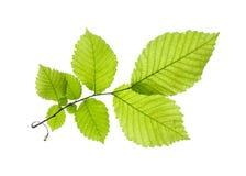 Leaf on white Royalty Free Stock Photo