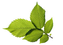 Leaf on white Royalty Free Stock Image