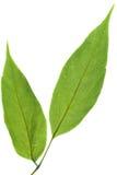 Leaf on white Stock Images