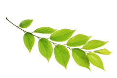 Leaf and white background Royalty Free Stock Images