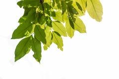 Leaf white background royalty free stock image