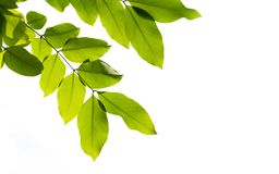 Leaf white background royalty free stock images