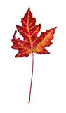 The leaf on a white background. The fallen-down autumn leaf on a white background Royalty Free Stock Photography