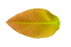 Leaf on white background. The leaf on white background Royalty Free Stock Photos