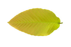 Leaf on white background. The leaf on white background Royalty Free Stock Photo