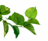 Leaf on white  background Royalty Free Stock Photo