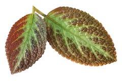 Leaf on white background. Closeup two leaf on white background Stock Image