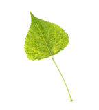 Leaf on white background Stock Photo