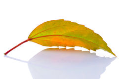 Leaf on white background Royalty Free Stock Images