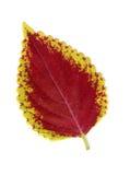 Leaf on white background Stock Photography