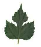 Leaf on white background Stock Photos