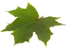 Leaf on white Stock Image