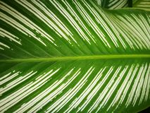 leaf with white stripe Royalty Free Stock Photo