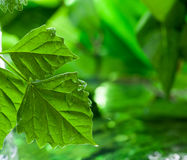 Leaf wiht dew. Natural green background with leaf stock photo