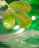 Leaf wiht dew. Natural green background with leaf royalty free stock photography