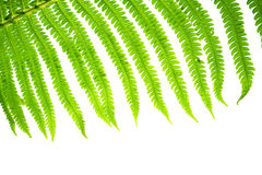 A leaf of a wild fern close-up on a clean white background. Royalty Free Stock Image