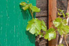 Leaf of wild grape vine growing in spring, on facade of old wooden house Stock Image