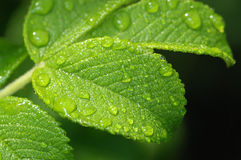 Leaf of wild rose with drops. Stock Image