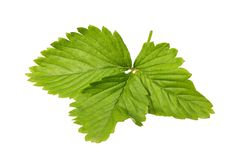 Leaf of a wild strawberry plant Stock Photography