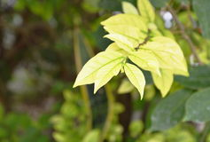 Leaf of wild water plum changed color in park Stock Photo