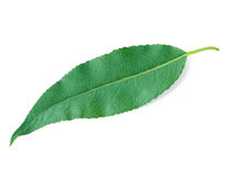 A Leaf of a Willow Royalty Free Stock Image