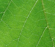 Leaf of wine grape. Detail (close-up) of a leaf of wine grape royalty free stock photography