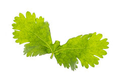 Leaf wing Stock Photography