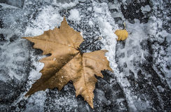 A Leaf in Winter. A fallen leaf in the snow Stock Images