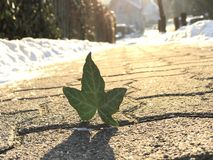 Leaf on the Winter. Standing Leaf at the Street in Winter Royalty Free Stock Photography