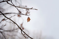 Leaf on winter tree. A solitary leaf on a tree in winter Royalty Free Stock Photography