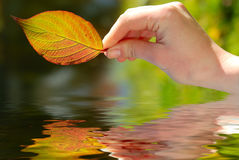 Leaf in woman's hand. Autumn leaf in woman's hand Royalty Free Stock Images