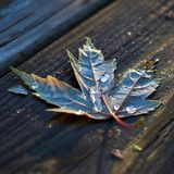 Leaf on wood with dew drops stock photo