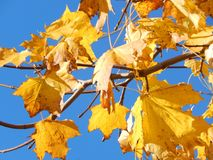 Leaf, Yellow, Autumn, Maple Leaf Stock Images