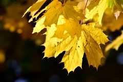 Leaf, Yellow, Autumn, Maple Leaf Royalty Free Stock Images