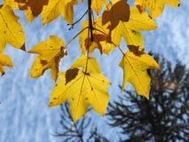Leaf, Yellow, Autumn, Maple Leaf Royalty Free Stock Photo