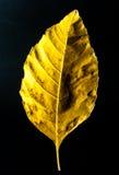 Leaf. Yellow leaf on a black background Stock Image