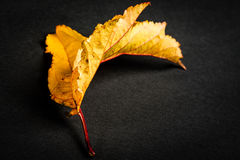 Leaf. Yellow leaf on a black background Stock Photography