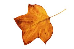 Leaf of yellow color Royalty Free Stock Images